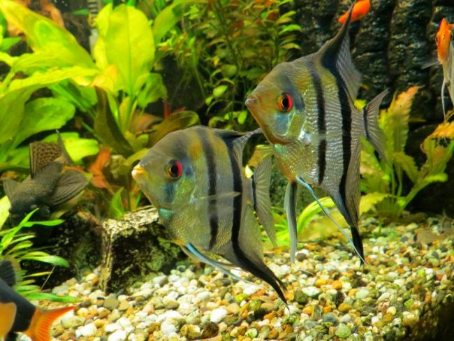 Скалярия довольно популярна среди отечественных аквариумнистов