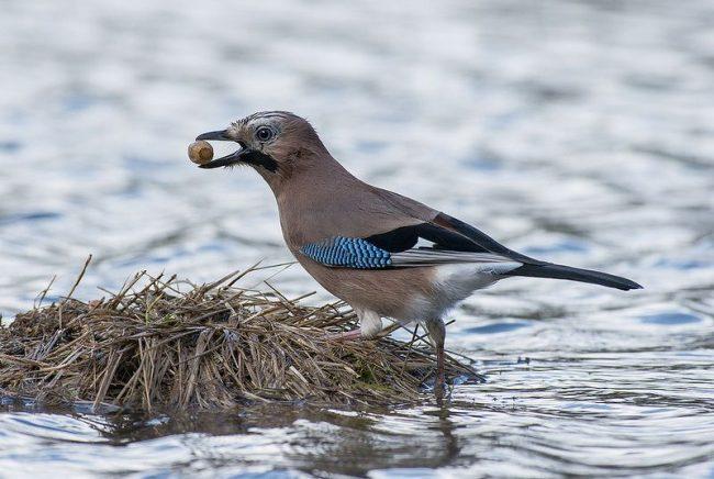 Сойка - самая трудолюбивая птица, которая готовится о запасах на зиму заранее