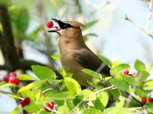 Свиристель - еще один представитель ярких зимних птиц