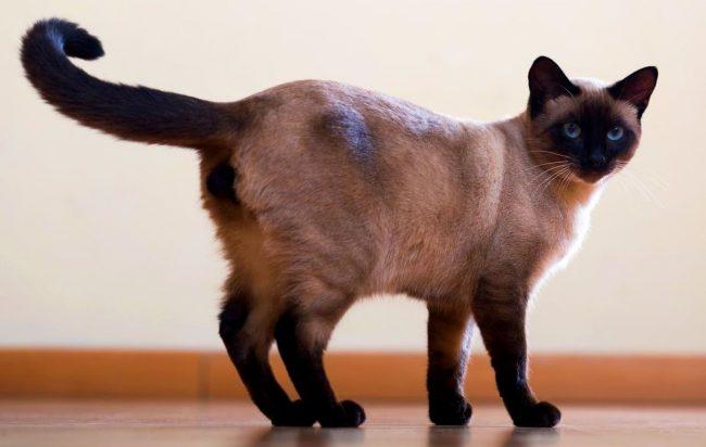 Кошкам этой породы присуще чувство такта - даже в процессе игры животное не будет кусать и царапать