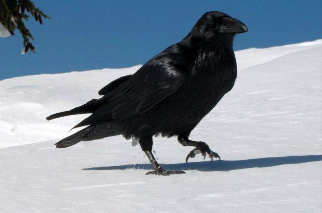 Ворон - птичий долгожитель, который может доживать до 75 лет