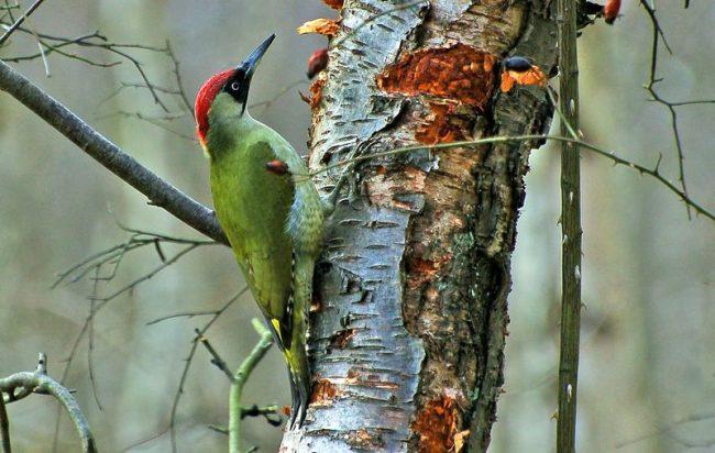 Зеленый дятел - яркий представитель лесов Подмосковья