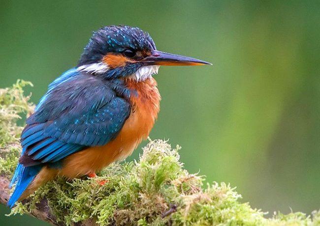 Зимородок предпочитает питаться рыбками, поэтому живет возле воды