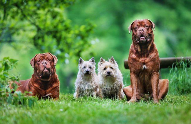Бордоский дог - одна из самых нежных, спокойных и общительных пород собак