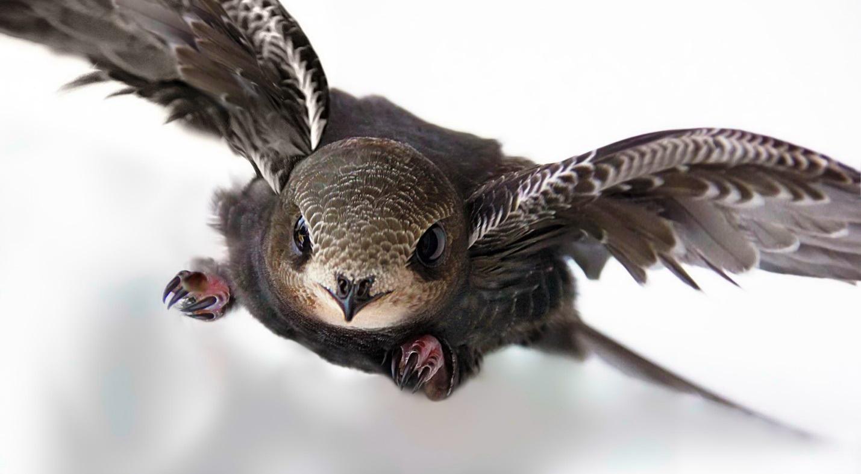 Картинки птиц стрижей