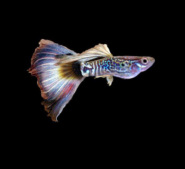 Гуппи рыбки