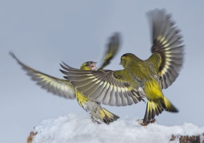 чиж фото птица