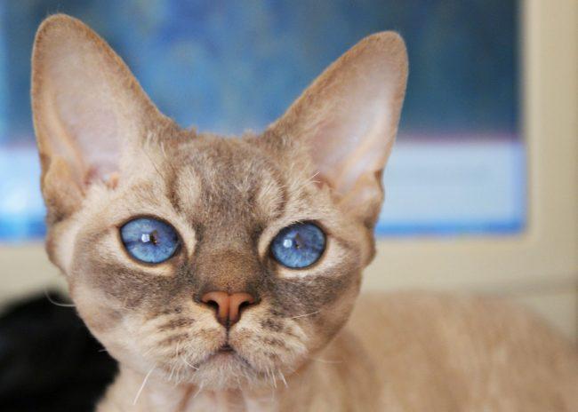 Девон-рекс: порода кошек, описание стандарта, особенности содержания, цена, фото   отзывы владельцев