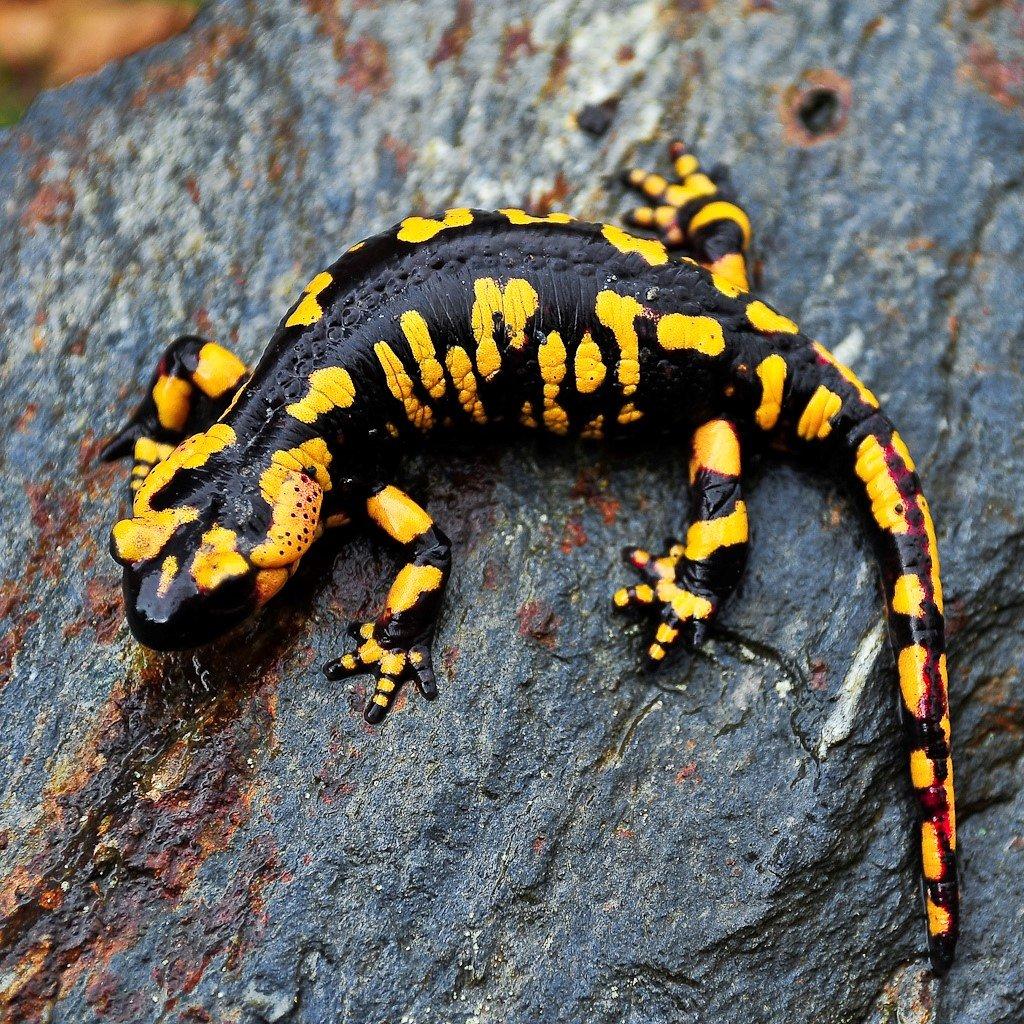 Чем питаются саламандры