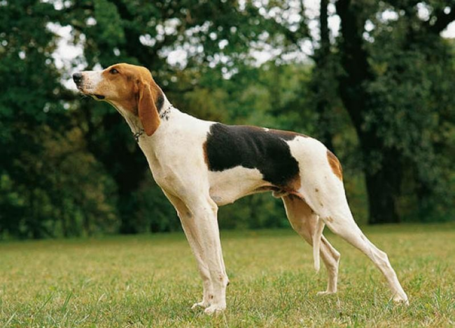 гончие собаки фото