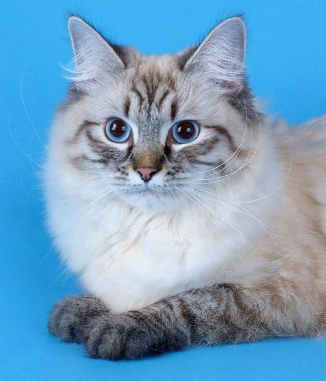 московский маскарадный кот