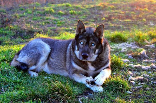 Волк собака порода