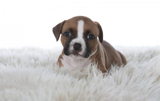амстафф фото собак щенки