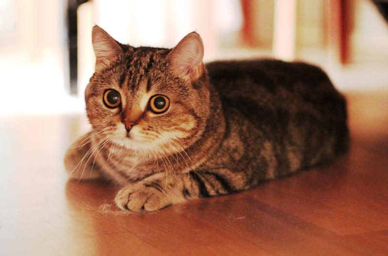 шотландская кошка прямоухая фото серая