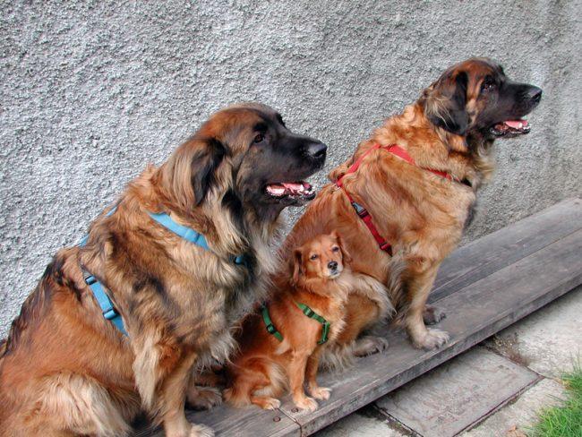 Шлейка для собак