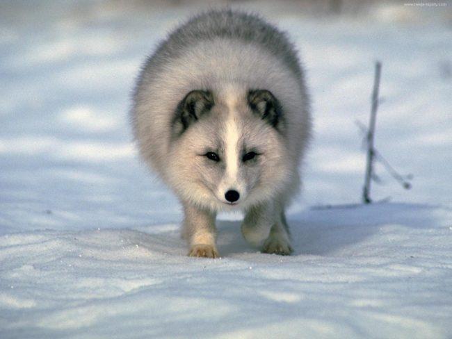 Песец фото Белая лисица забравшаяся за полярный круг