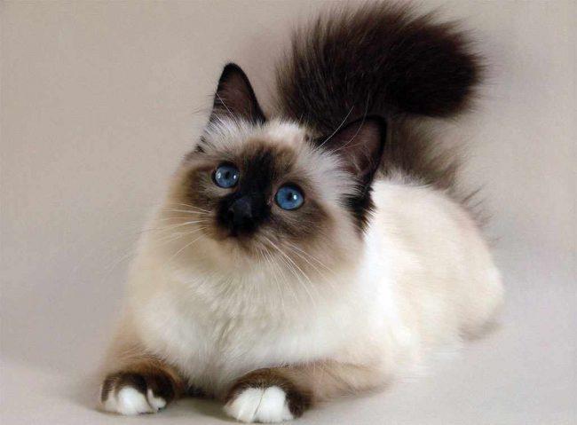 кошка бирманская священная фото