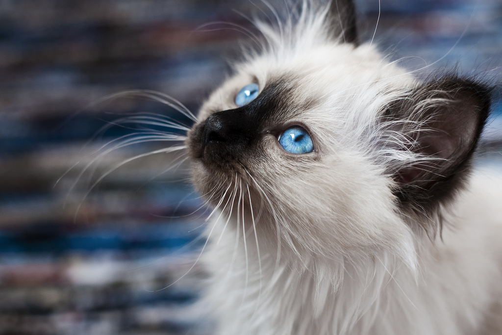 этом порода голубоглазых кошек фото чем планировать стратегию