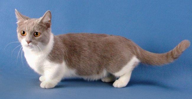 Самая маленькая порода кошек