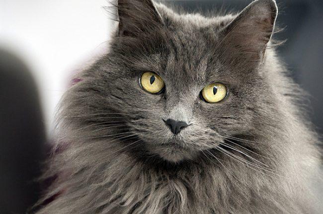 фото кошек породы нибелунг