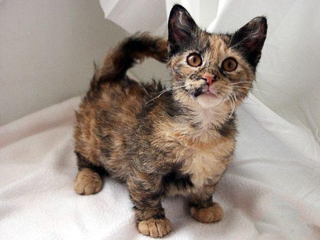 кошки фото карманные