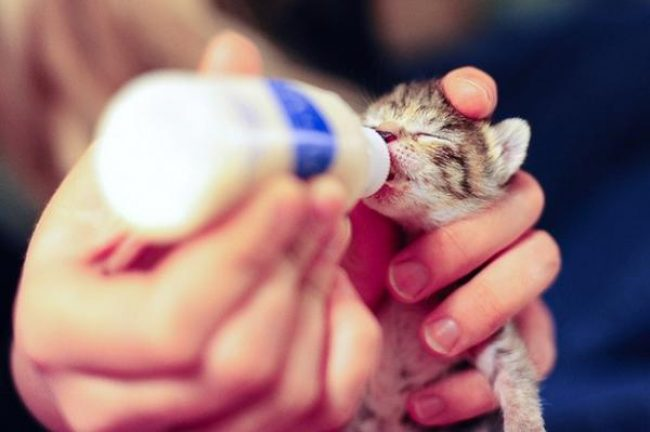 Как выкормить котенка без кошки