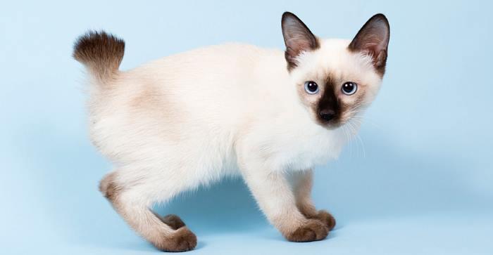Кинкалоу порода кошек