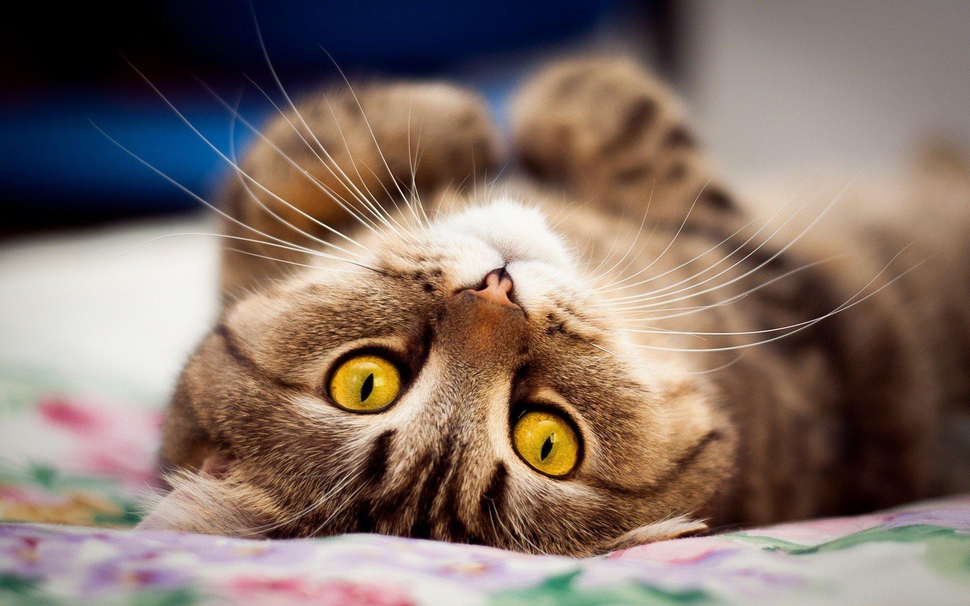 Течка у кошек сколько длится и как часто