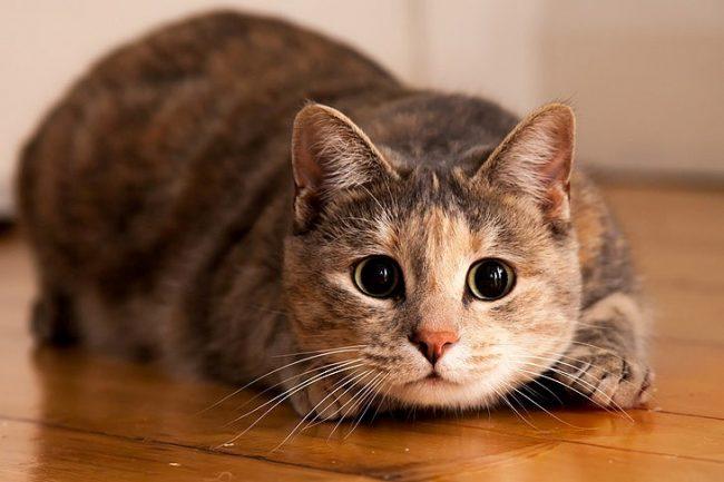 Шеба корм для кошек отзывы ветеринаров