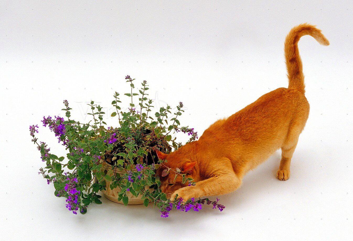Почему коты любят мяту ее польза и вред