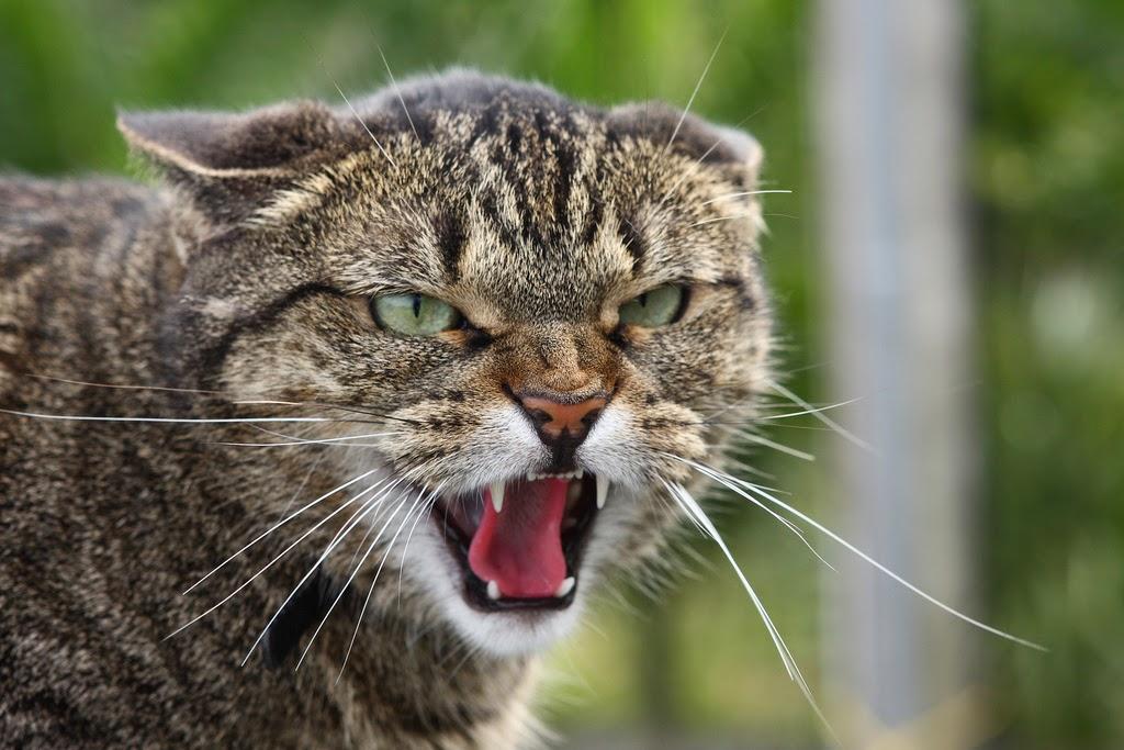 Открытки злые кошки, картинки