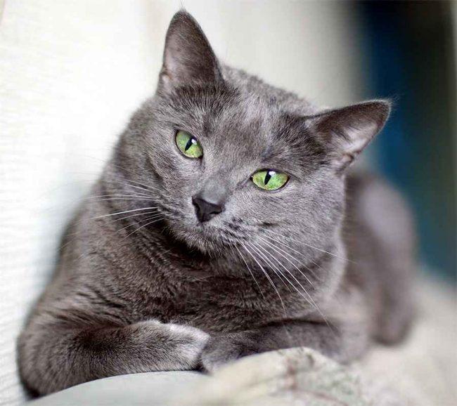 корат порода кошек фото и описание
