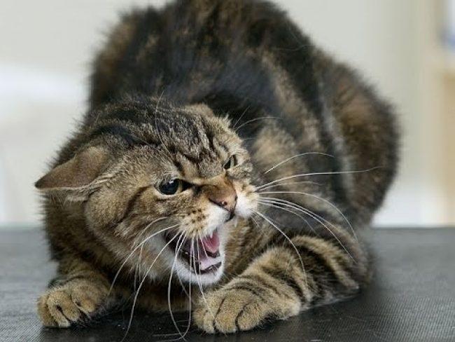 Симптомы бешенства у кошек