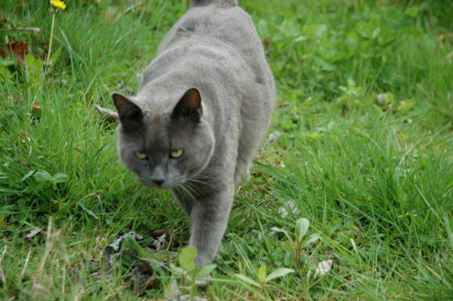Шартрез кошка