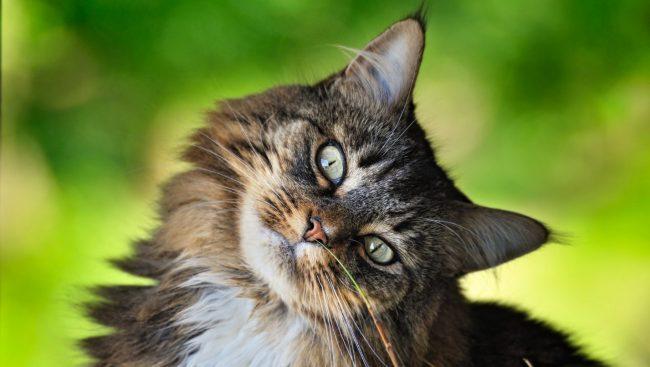 Моча без запаха у кота