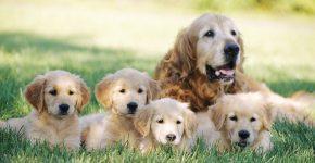 Сколько длится беременность у собак