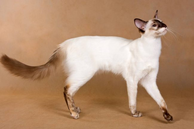 Кошка балинезийская