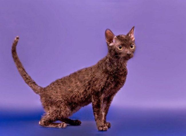 Такие кошки подойдут людям, которым не нравится собирать летающую шерсть питомца по всему дому. Уралам, наоборот, нужно помогать во время линьки, расчесывая их волнистые завитки