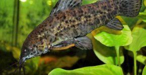 Аквариумная рыбка таракатум