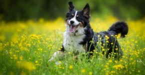 Английская овчарка в поле