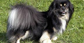 Чёрный тибетский спаниель на траве