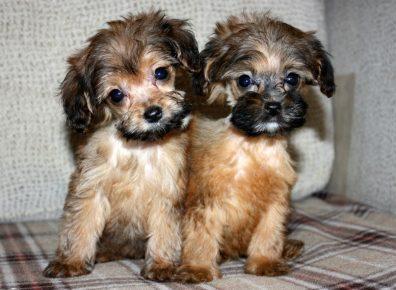 Два щенка петербургской орхидеи