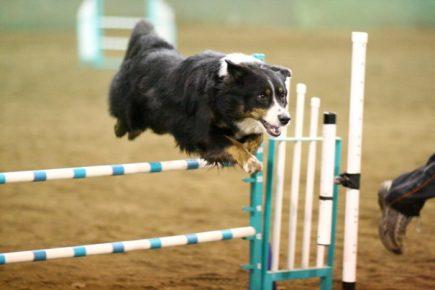 Английская овчарка прыгает через барьер