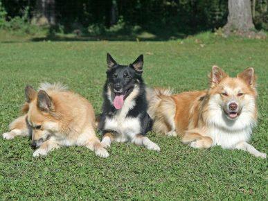 Две рыжие и одна чёрная исландские собаки, лежащие на траве