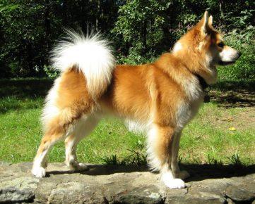 Рыжая исландская собака