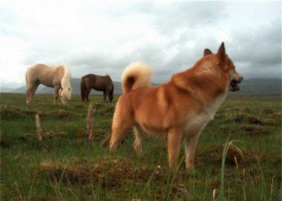 Исландская собака пасёт скот в поле