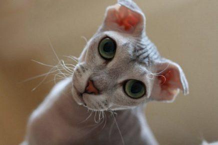 Кошка породы украинский левкой крупным планом
