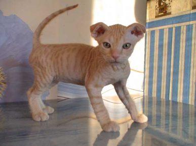 Котёнок украинского левкоя стоит на столе