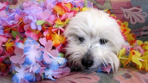 Котон де тулеар в цветах