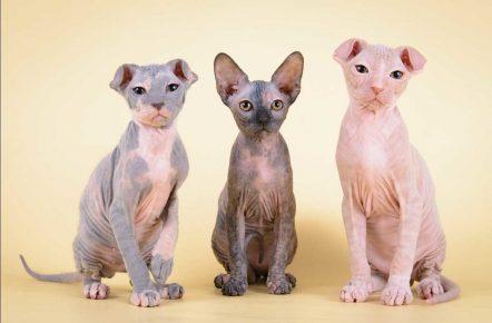 Три котёнка украинского левкоя варианты страйт и фолд